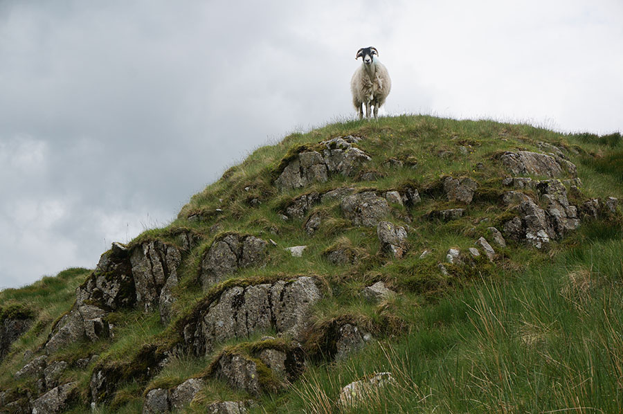 "Near the start of the east ridge, a sheep looks at me as if to say ""what the hell are you doing here?"""