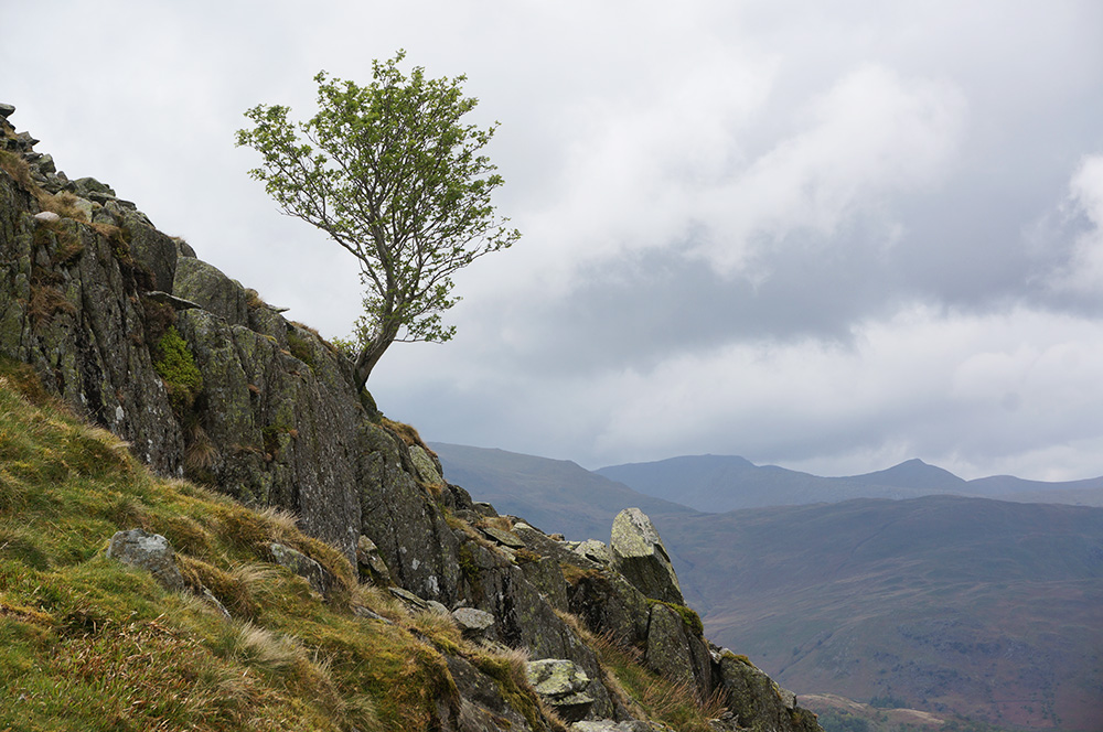 A lone tree on the steep slopes of Grey Crag