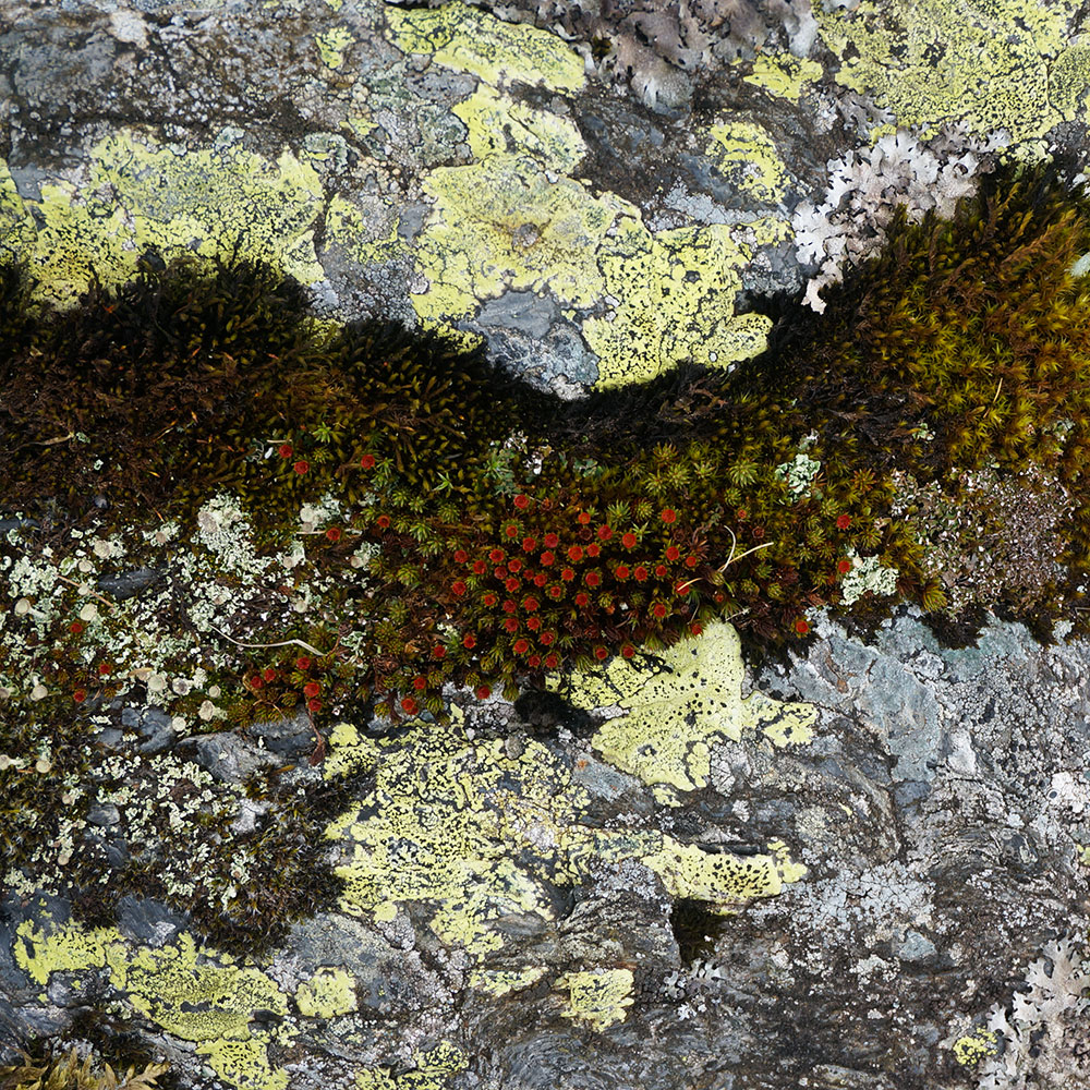 Moss and lichen on rock