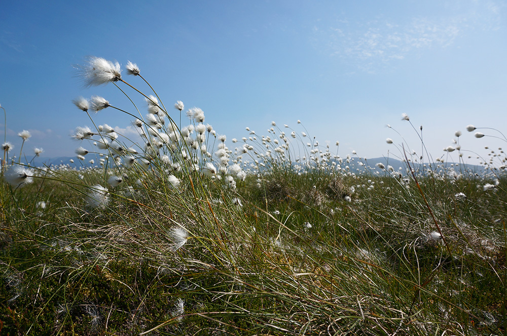 Cotton-grass at Fellbarrow summit