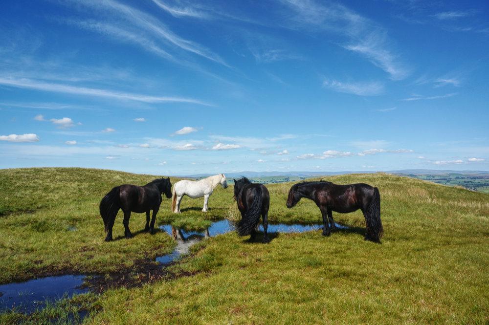 Fell Ponies on Roundthwaite Common