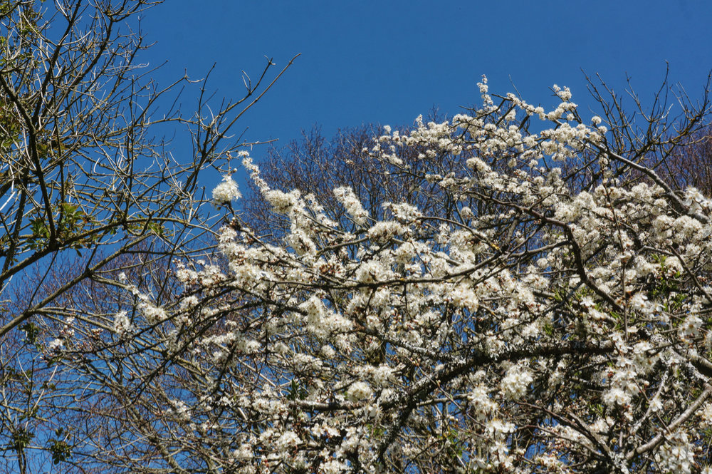 Blackthorn blossom against a clear blue sky